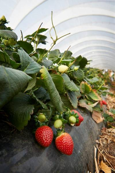 HillwoodFarmgate/231_meandervalleystrawberries_1512368011.jpg