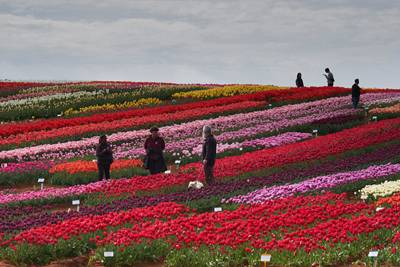 VanDiemenQualityBulbs/309_edlt2_table_cape_tulip_farm_1571274980.jpg